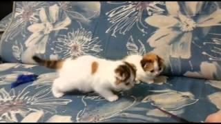 Питомник шотландских кошек Миранис