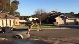 Australie : deux kangourous se battent en pleine rue !