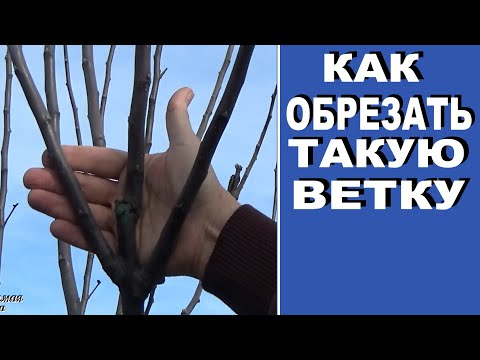 Как обрезать плодовые деревья если ветви растут под острым углом