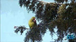 ожереловый попугай Крамера Драра