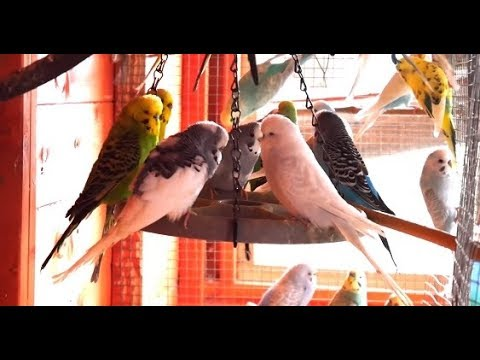 2 Hours of Budgies In Their Aviary - Singing and Playing - Play For Your  Budgie - Budgie Sounds