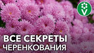 как из одного куста хризантемы получить 10? Секреты черенкования хризантем