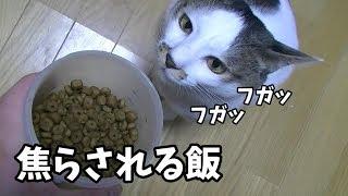 ご飯を焦らされて媚びを売りまくる猫