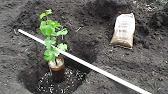 Как посадить виноград весной (посадка саженцев черенков винограда .