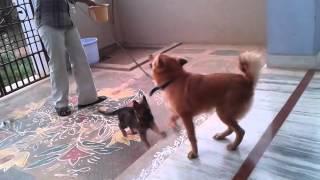 American staffordshire terrier, American pitbull terrier, American ...