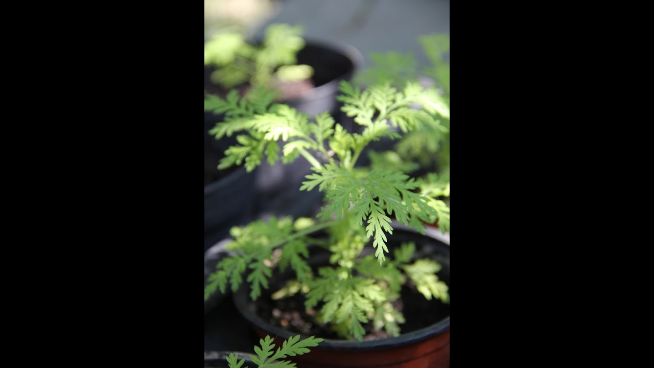 Artemisia annua - Cultivation methods of a plant with a ...