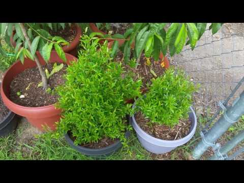 Backyard Dwarf Fruit Trees in Containers on June 2nd 2016