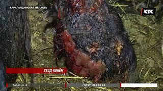 В Карагандинской области у лошадей выявили неизлечимую болезнь