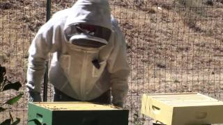 Bees: Powdered Sugar Mite Treatment 2 of 2