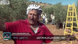 """مصر العربية   """"العونة"""".. تكافل فلسطيني يتجلى مع قطف الزيتون"""