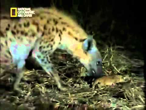 Hyenas kill Lioness cub and two lions kill lioness !! Rare video