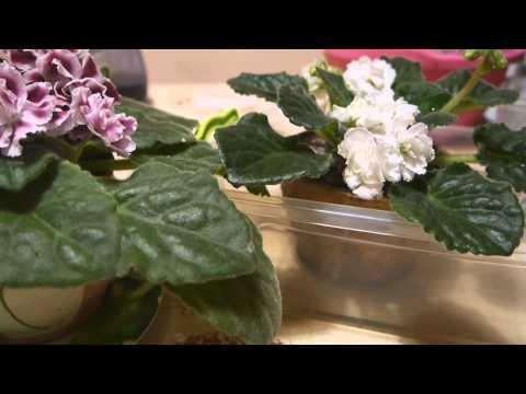 Можно ли пересадить цветущую азалию? Форум Азалия