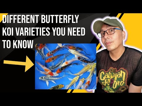 Butterfly koi fish My collection of different varieties of butterfly koi fish