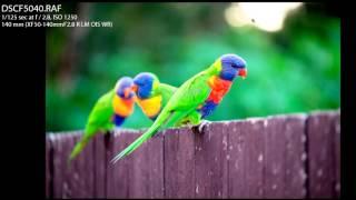 Perspective - Rainbow Lorikeets