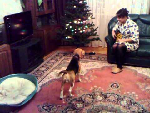 Бигль и новогодняя елка
