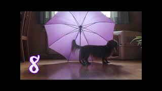 Canine Tricks With An Umbrella