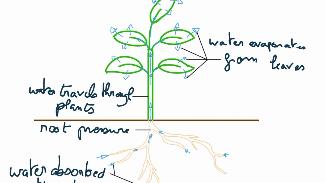 Anatomy Of A Leaf Decot Stem And Transpiration Of A Plant Youtube