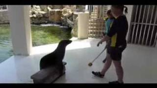 learning operant conditioning with 1 year old sea lion.mov