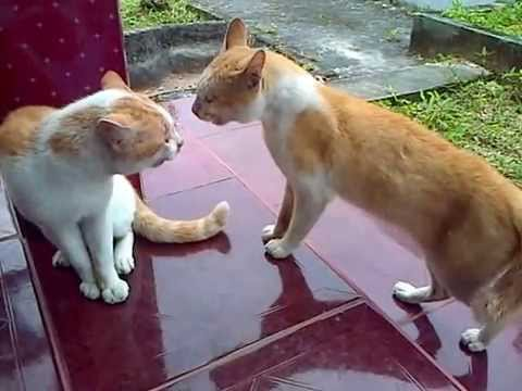 Kucing Berantem Rebutan Wilayah, Siapakah yang menang ?