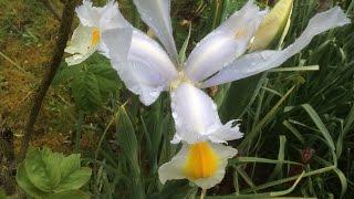 Iris de Hollande première fleur en offrande