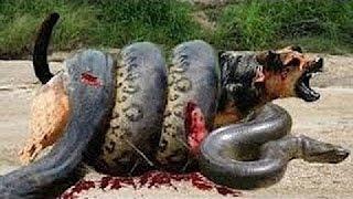 битва игра - змея против собаки - собаки против других змей.