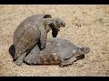Nebulous//Turtle domination//