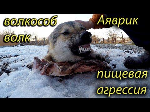 Волкособ волк Аяврик пищевая агрессия Vs питбуль.