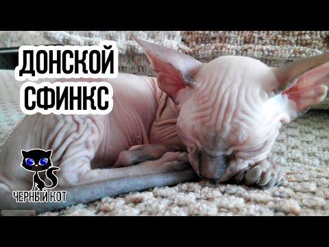 Донской сфинкс / Интересные факты о кошках