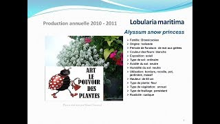 Tuto jardin:Lobularia maritima Alyssum snow :plante annuelle: fiche technique plante annuelle
