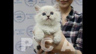 Сибирский котенок блю-пойнт. Выставка кошек PCA on-line