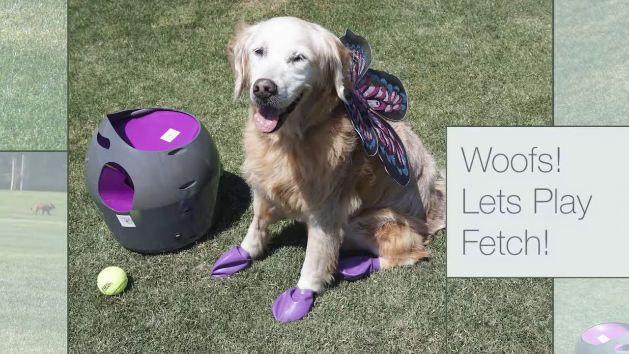 Golden Retriever Fetch Tennis With Petsafe Automatic Ball Launcher
