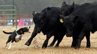Watch Cow Herding Dogs At The Southern Farm Show