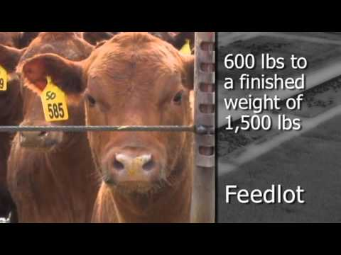 Agriculture: Minnesota Livestock Farmers, Beef Production