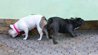 Голубой Французский Бульдог Сапфир и Нюша Щенки в продаже French bulldogs. Puppies for sale