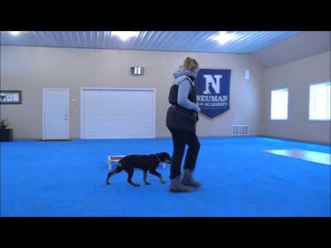 Rebel (Rottweiler) Puppy Camp Dog Training Video