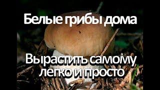 Как вырастить много белых грибов дома.