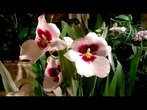 уход за орхидеей Мильтония