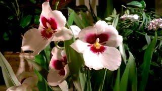 уход за орхидеей Мильтония(Общие принципы ухода за орхидеей Мильтония.    ☀ И о том как я ухаживаю за этой капризной орхидеей.      ..., 2015-12-09T17:13:00.000Z)