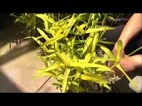 Tipos de bamb decogarden youtube - Tipos de bambu ...