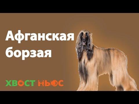 Порода собаки афганская борзая