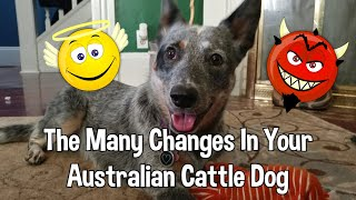 Personality Changes In Australian Cattle Dog  Puppy Stages and More!