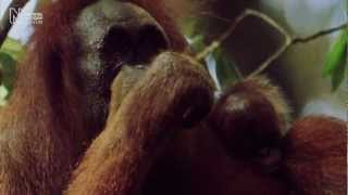 Helping the orang-utan | Natural History Museum