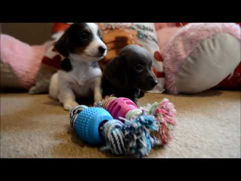 Autumn AKC SOLID Blue Miniature Dachshund Puppy for sale.