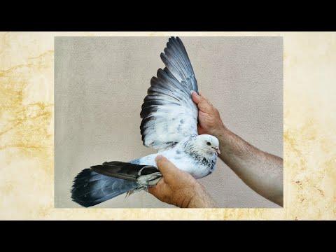 Бойные голуби. Экстерьер моих голубей. 14.06.20 Грузия. Тбилиси