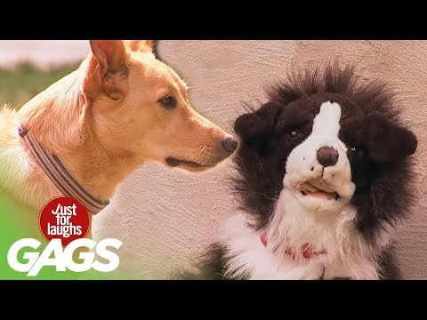 Stuffed Dog Attacks Real Dog - Just For Laughs Gags