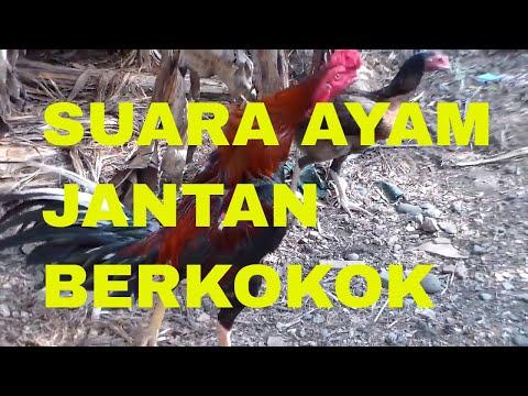 Suara Ayam Jantan Berkokok | The Sound of Roosters Crowing