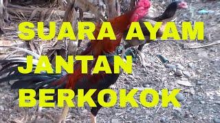 Top Hits -  Suara Ayam Jantan Berkokok The Sound Of