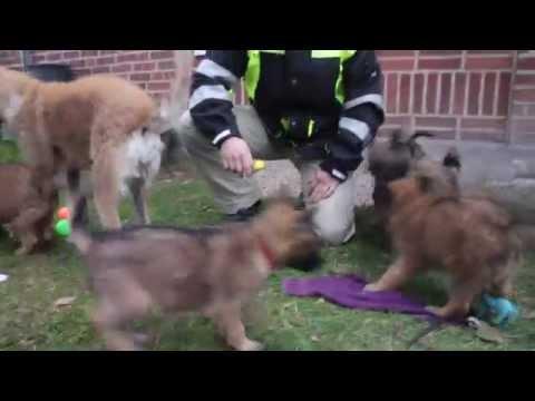 Belgian Shepherd Laekenois Alpha and Puppies 8 Veek old