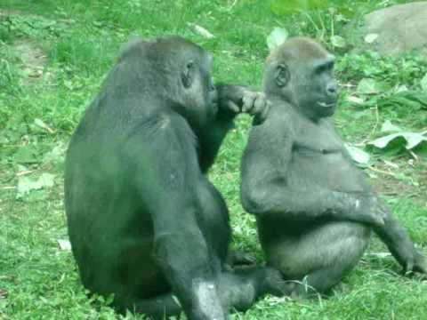 Funny Bronx zoo Gorillas - YouTube