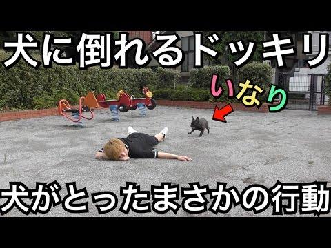【犬にドッキリ】主人が倒れた犬がまさかの行動【感動超大作】